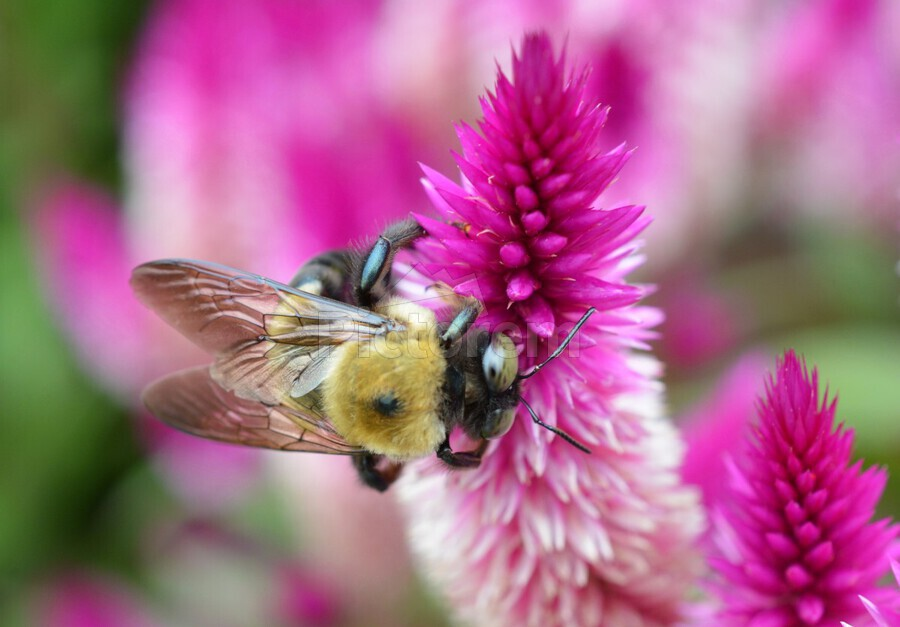 Bee On Pink Flower Photograph  Print