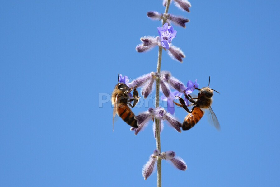 Two Bees On Vine Photograph  Print