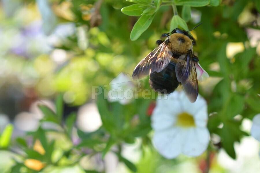 Bee on white flower photograph katherine lindsey photography canvas bee on white flower photograph print mightylinksfo