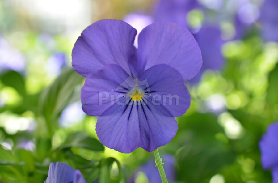 Blue Pansy Photograph  Print