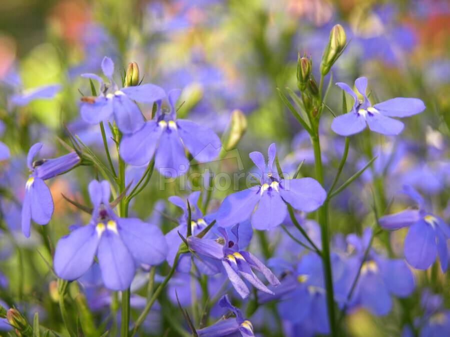 Blue Flowers Photograph  Print