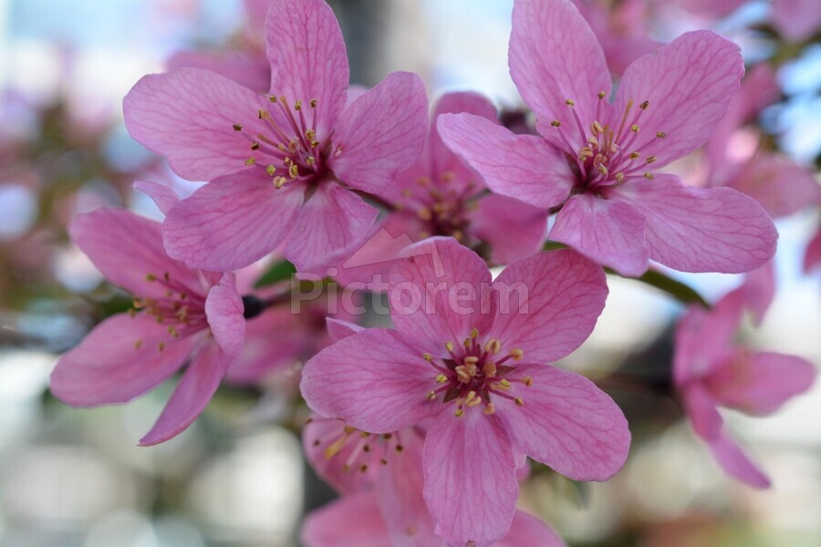 Pink Dogwood Photograph  Print