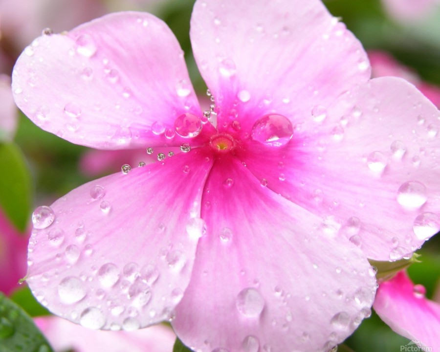 Pink flower covered in rain drops photograph katherine lindsey canvas print mightylinksfo