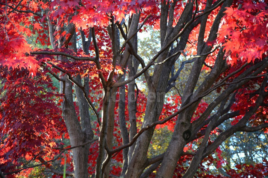 Beautiful Red Fall Foliage  Print