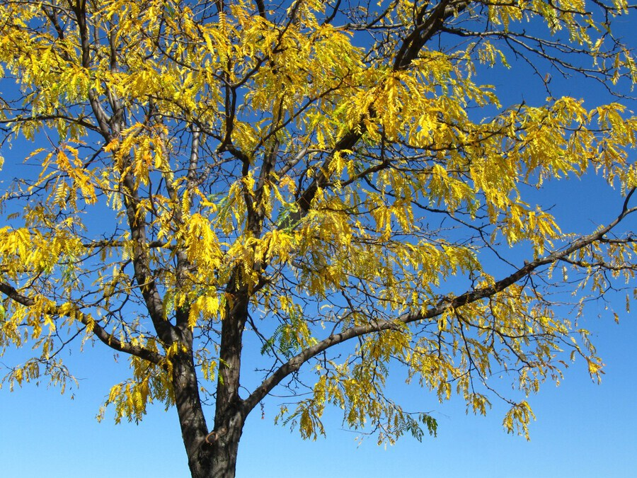 Beautiful Yellow Fall Foliage  Print