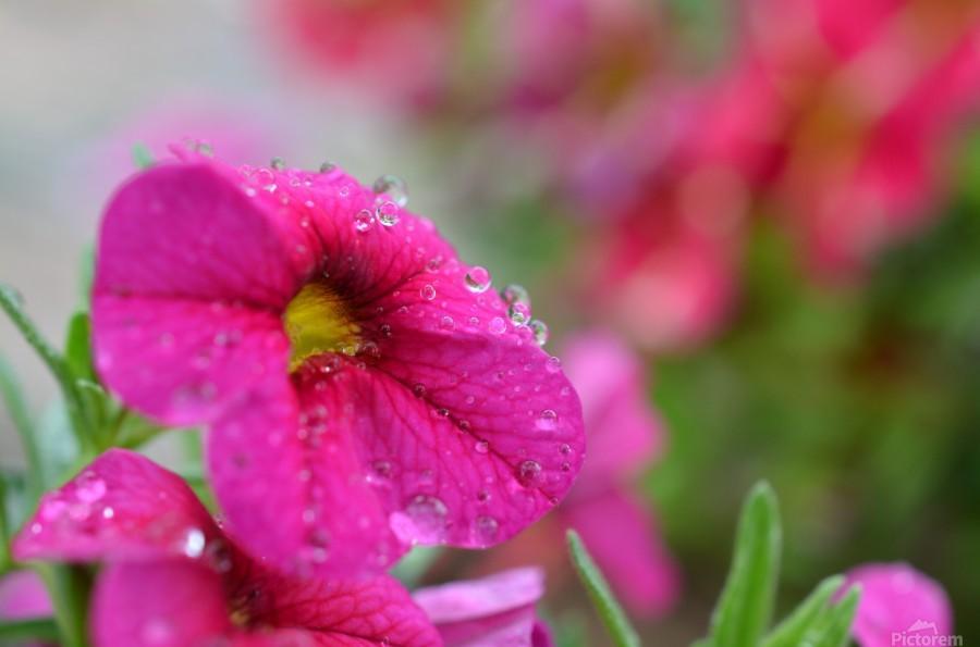Rain drops on a pink flower photograph katherine lindsey canvas print mightylinksfo