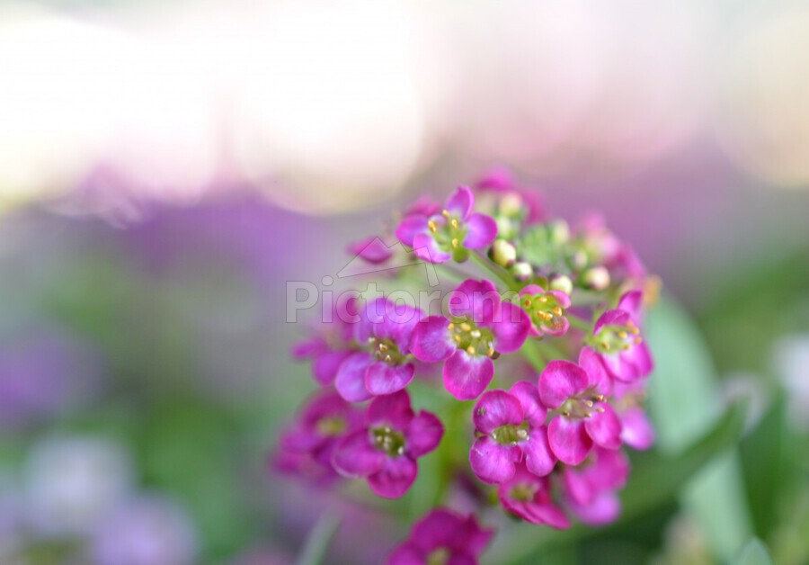 Pink Flowers Soft Photography  Print