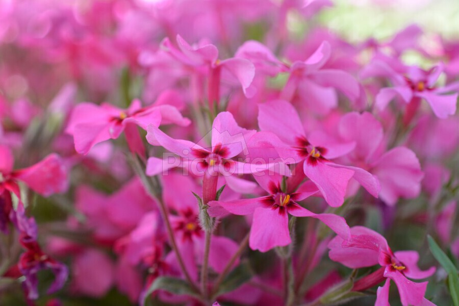 ... Pink Flowers Photograph Acrylic Print. Canvas print