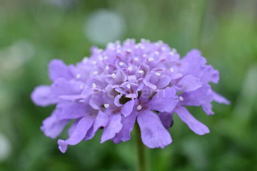 Purple Pincushion Flower Photograph   Print