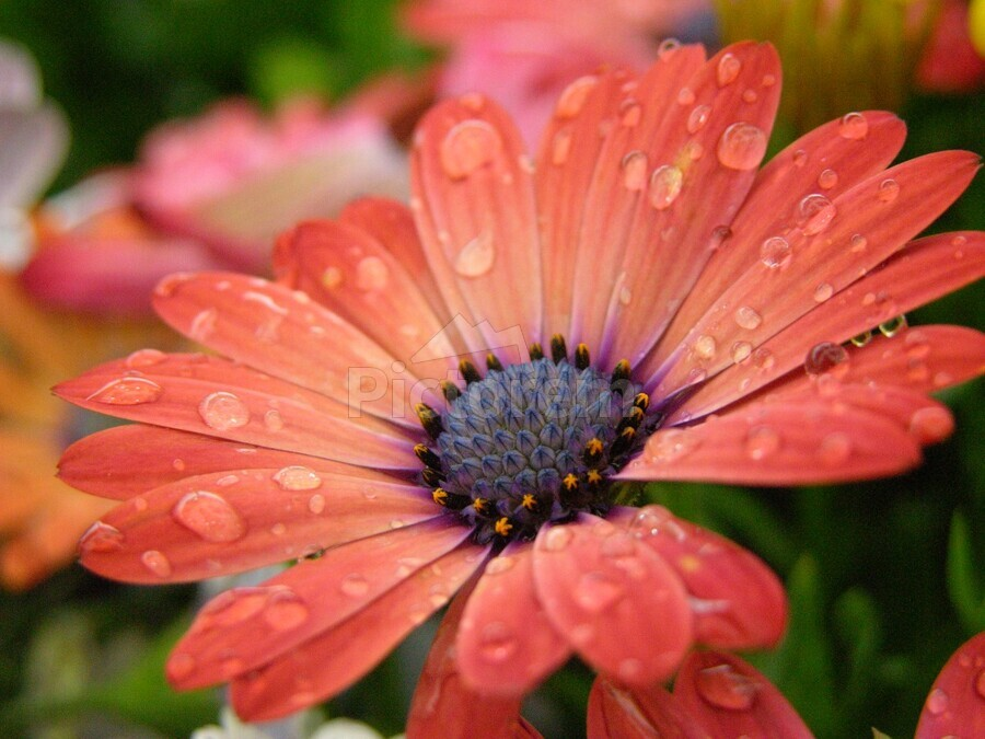 Orange Flower Covered In Rain Drops Photograph  Print