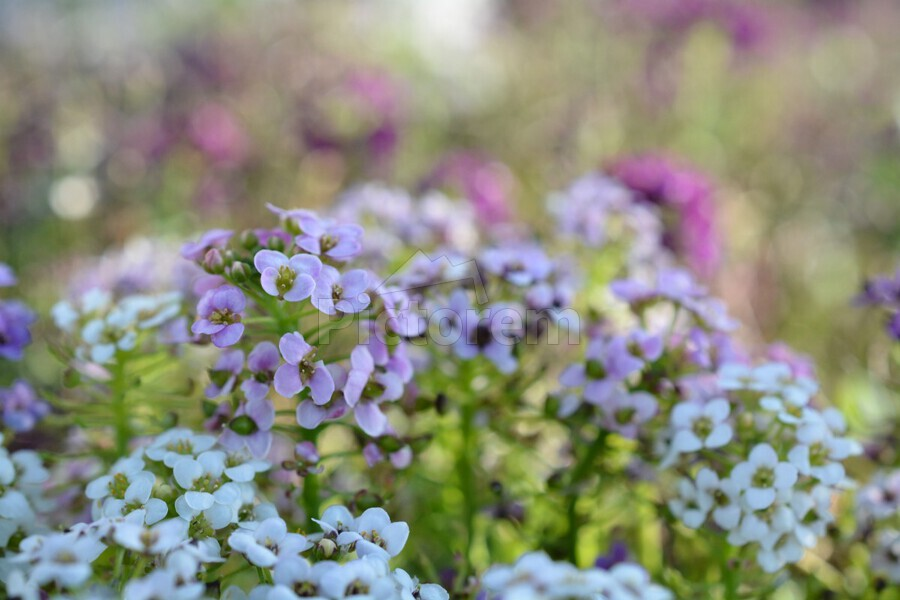 Small Purple Flowers Photograph  Print