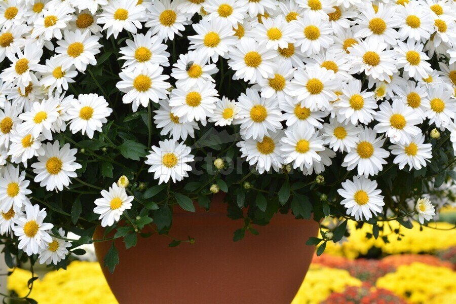 Beautiful White Flowers In A Hanging Basket Photograph  Print