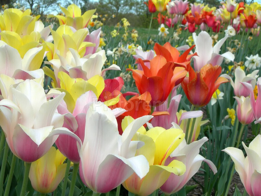 Beautiful Tulip Garden Photograph  Print