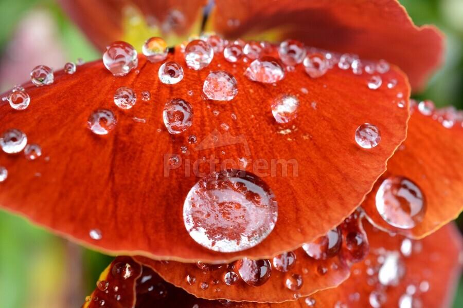 Raindrops On Orange Pansy Petal Photograph  Print