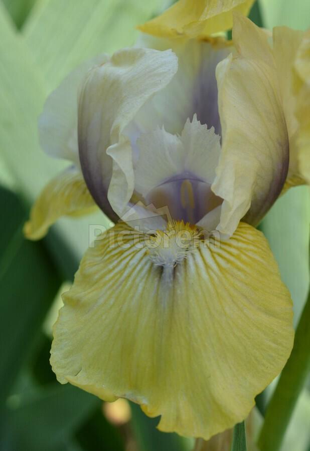 Yellow Iris Photograph  Print