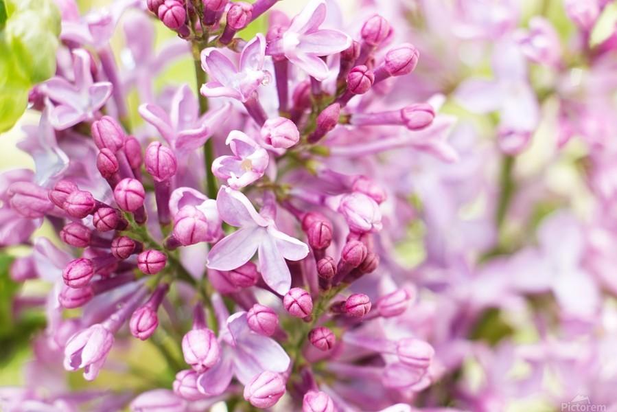 Lilacs  Print