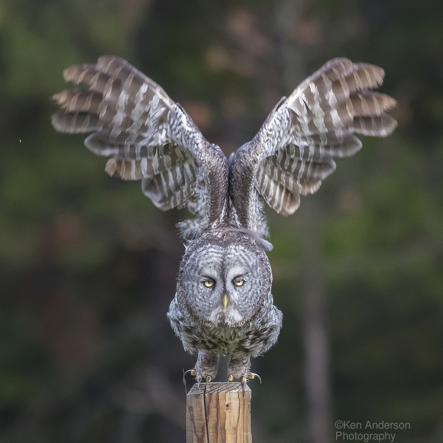 Great Grey Owl - Cleared for Take Off  Print