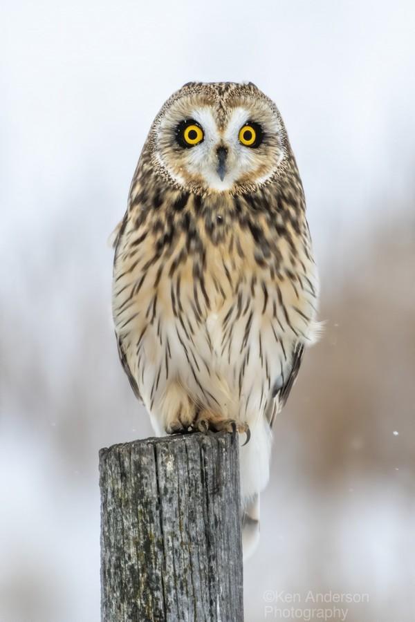 Short Eared Owl - Eyes wide open  Print