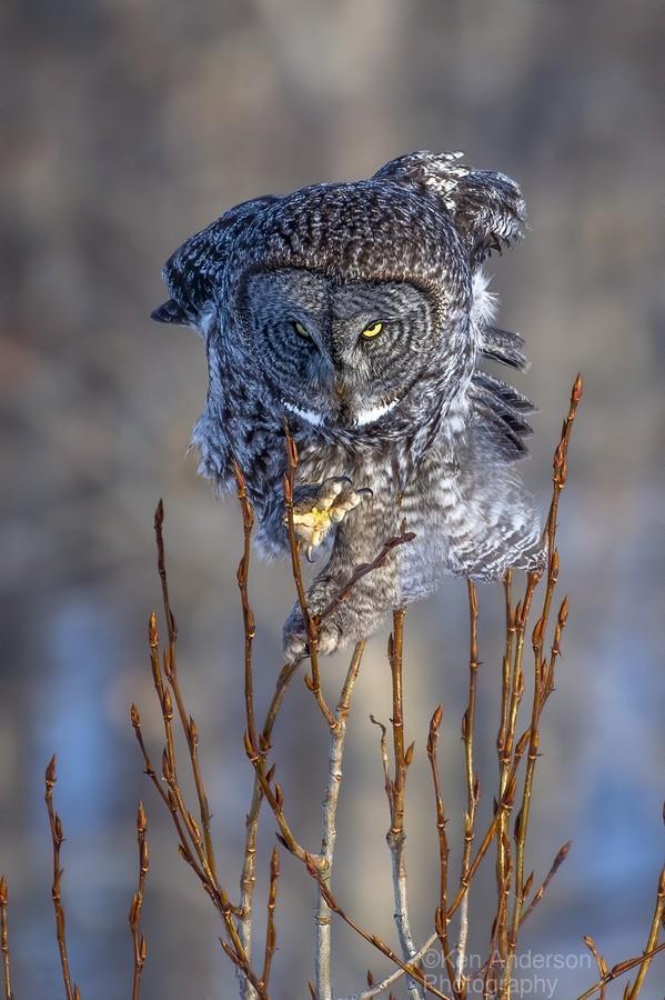 Great Grey Owl - Hanging on  Print
