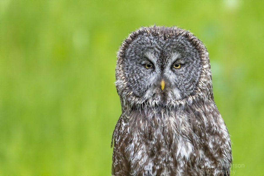 Great Grey Owl - Grey on Green  Print