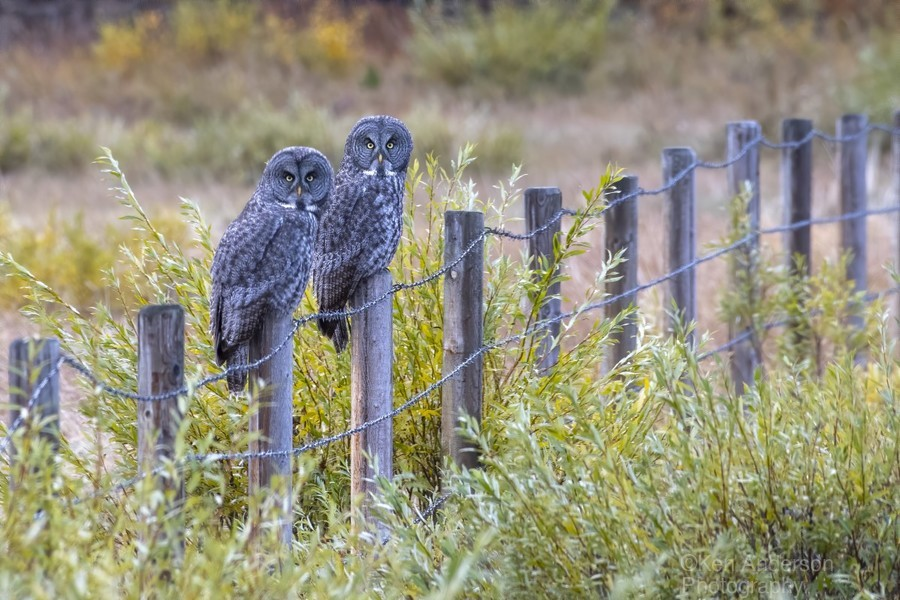 Seeing double - Great Grey Owl  Print
