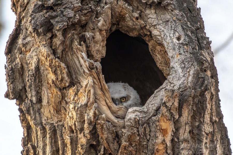 Great Horned Owl - Peek a boo  Print