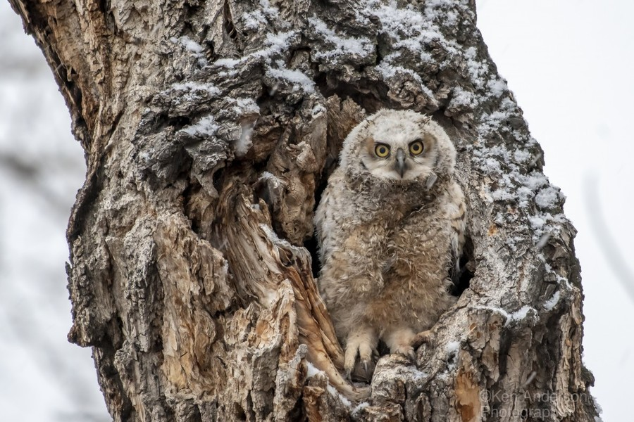 Great Horned Owlet - Can I come out yet  Print