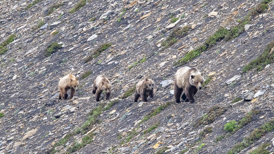 Grizzly Bear Family - Walk this way.  Print