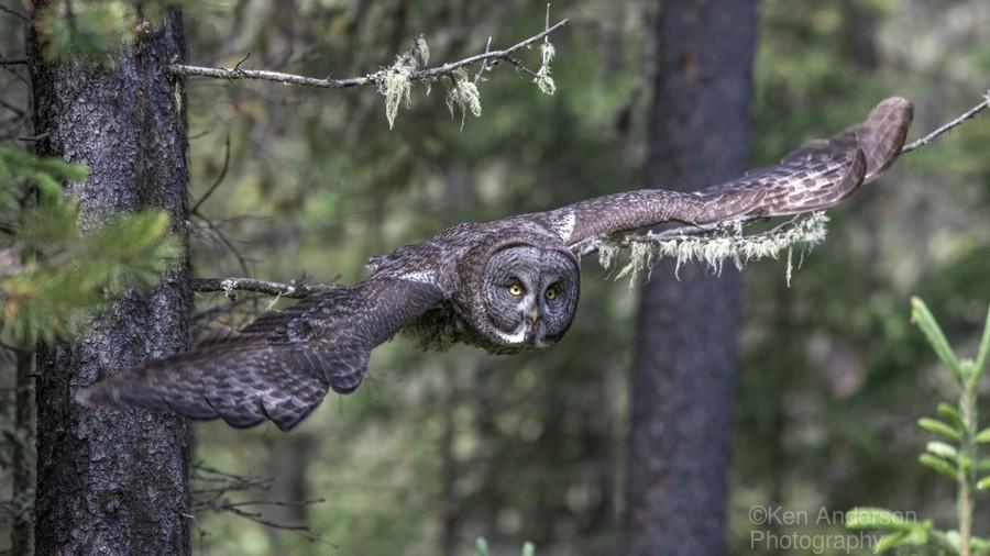 Great Grey Owl - Wing Span  Print