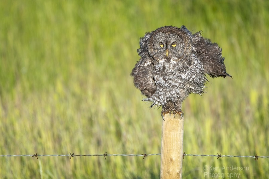 Great Grey Owl - Shaking It Out  Print
