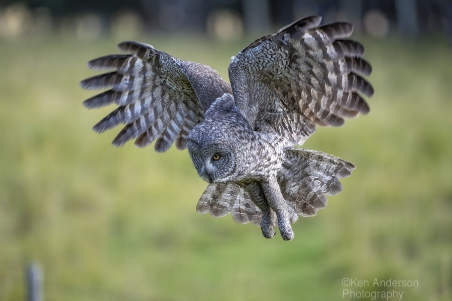 Great Grey Owl - Incoming  Print