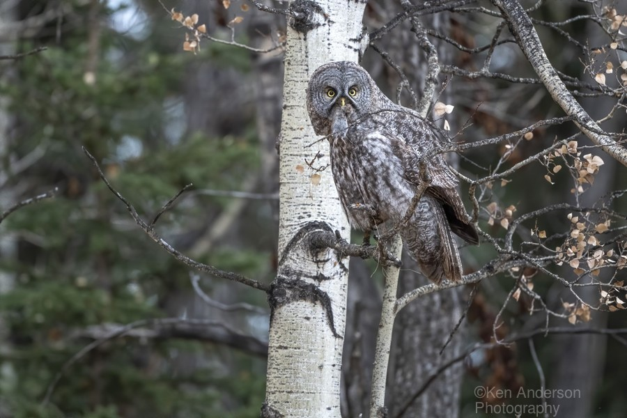 Great Grey Owl - Its Just a Snack  Print