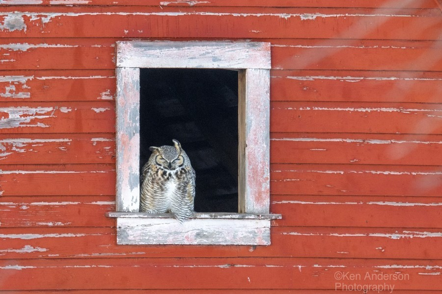 Great Horned Owl - Red Barn  Print