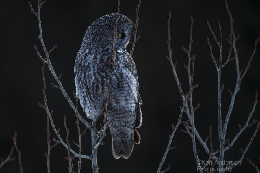 Great Grey Owl - After sunset  Print