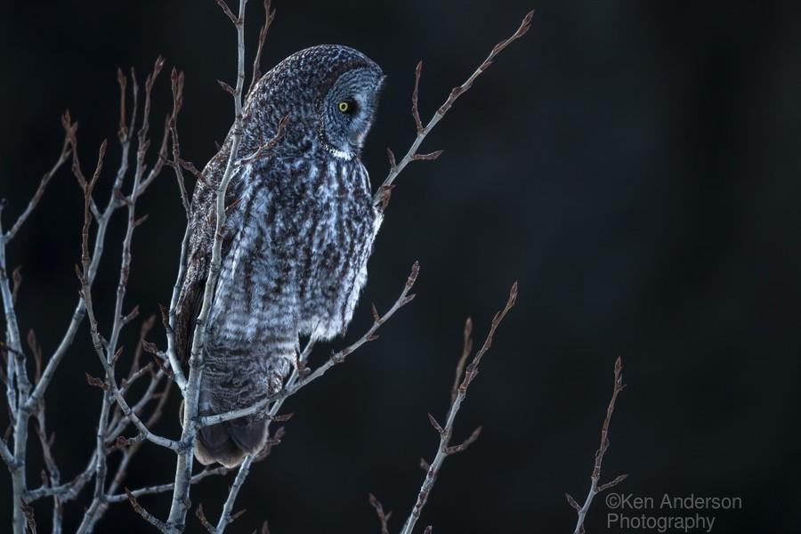 Great Grey Owl  Print