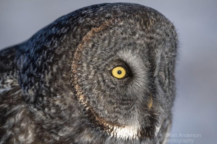 Great Grey Owl up Close  Print