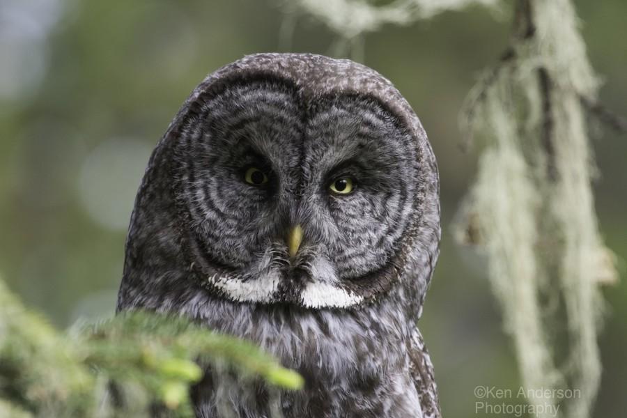 Great Grey Owl - Eye to Eye  Print