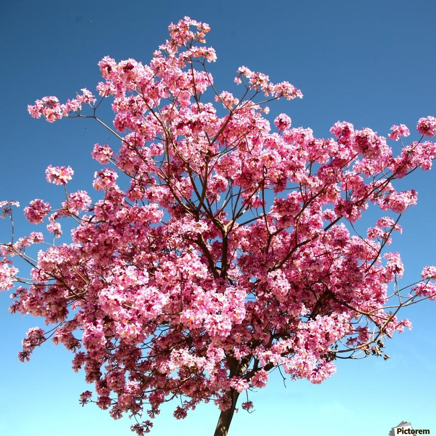 Cherry Blossom on Blue  Print