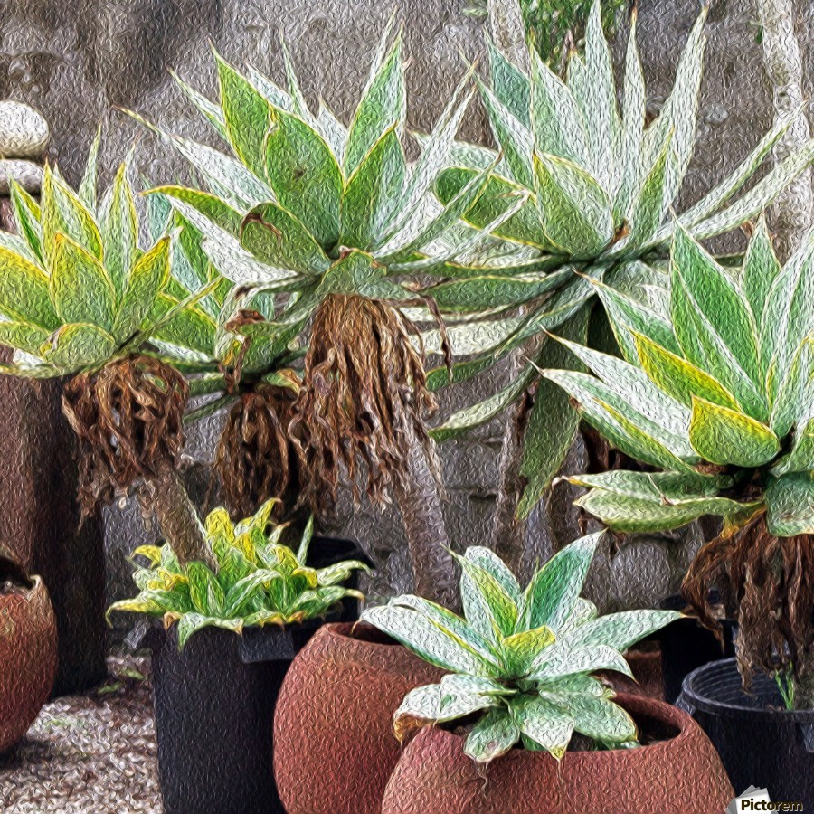 Potted Agave Plant  imprimons