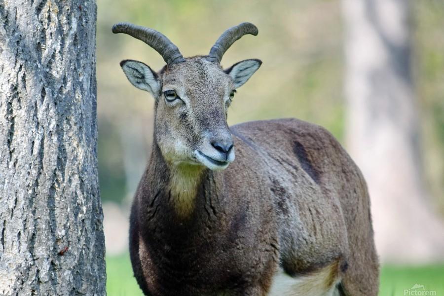 Mouflon in the Forest Portrait  Print