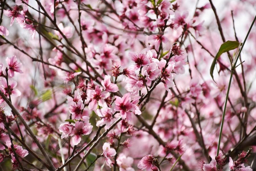 Pink Flowers Print; Pink Flowers Acrylic Print; Pink Flowers ...