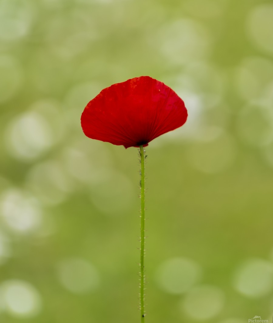 A solo Red Poppy  Print