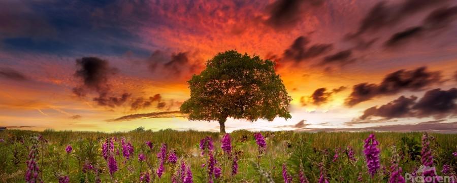 Foxgloves at sunset  Print