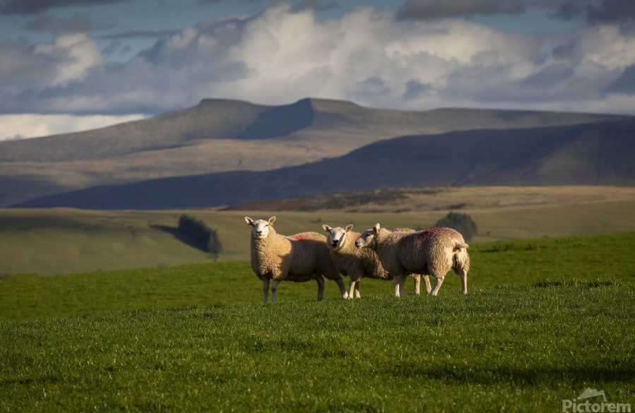 Sheep on the Brecon Beacons  Print