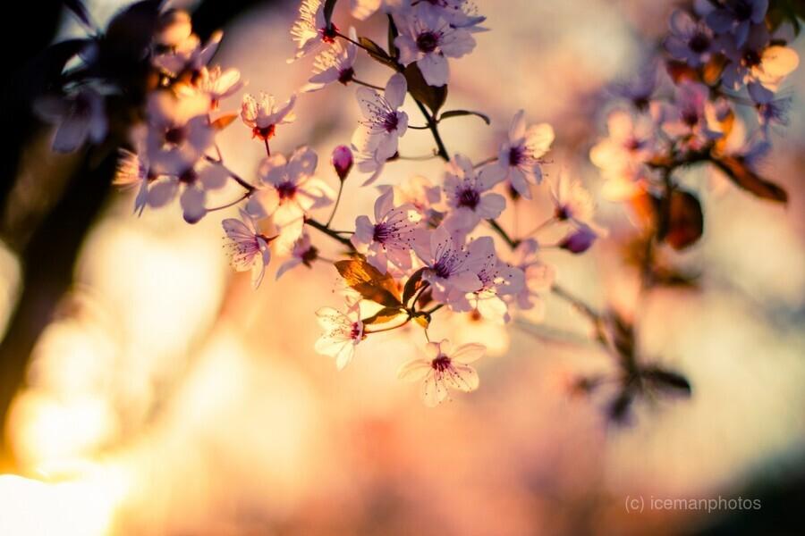 Beautiful Spring cherry flowers  Print