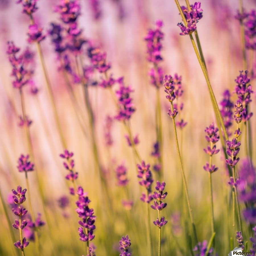 Beautiful sunset lavender flowers levente bodo canvas beautiful sunset lavender flowers print izmirmasajfo