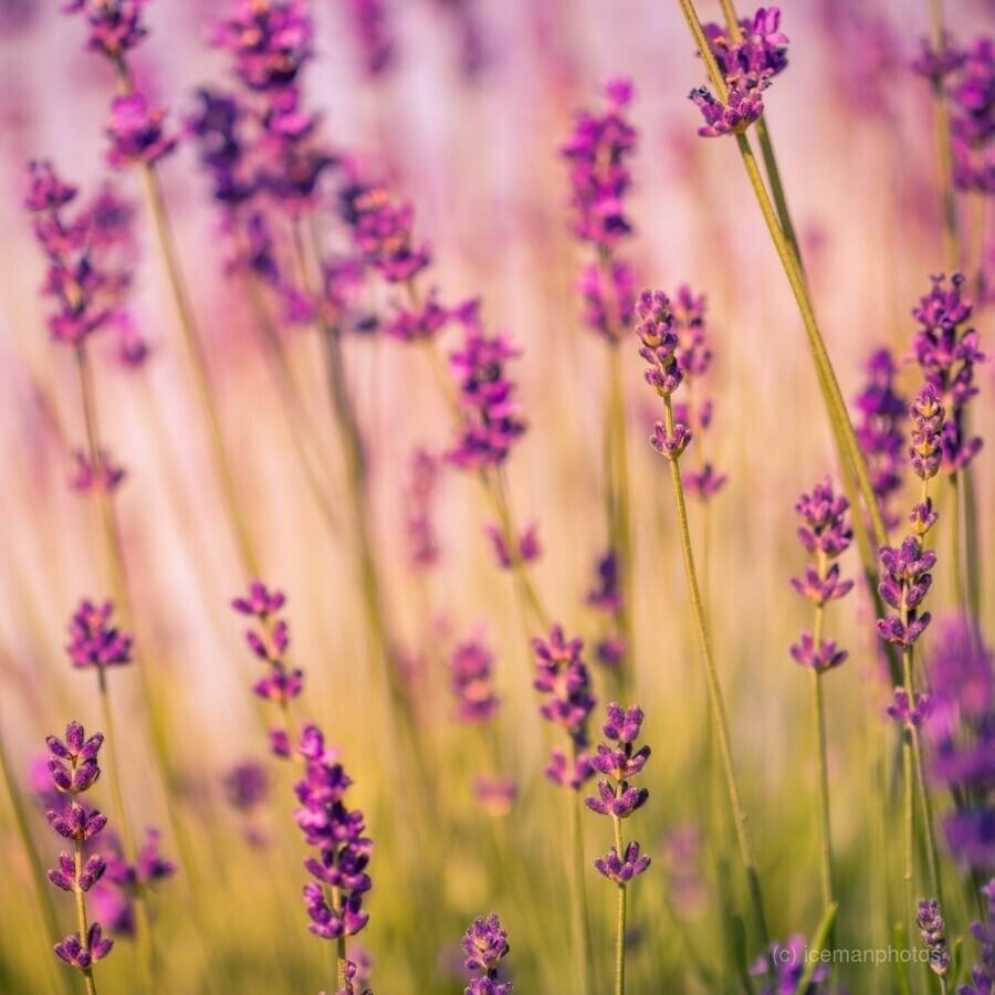 Beautiful Sunset lavender flowers  Print