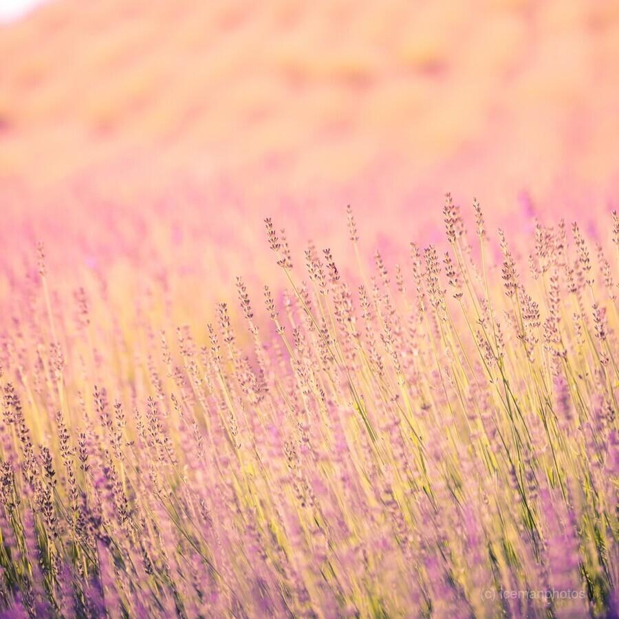 Sunset lavender flowers, instagram effect  Print