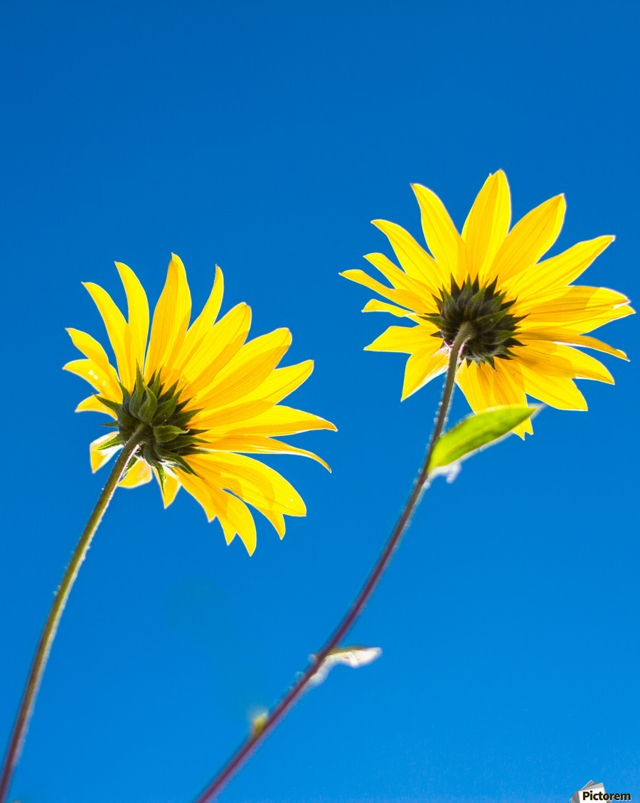 Yellow flowers and blue sky  Print