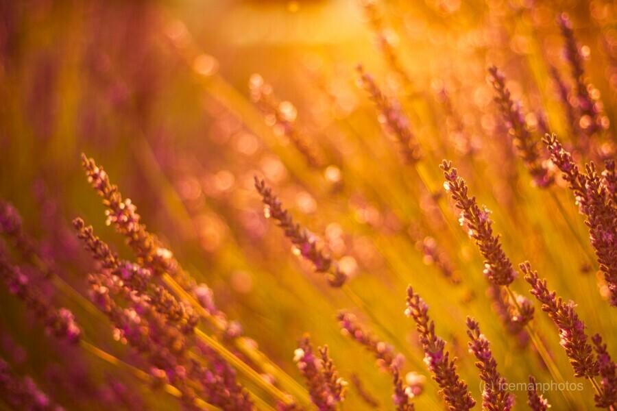 Sunset lavender flowers  Print